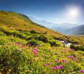 Pink flowers in the Caucasian mountains — Stock Photo