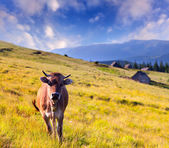 Cow on a farm in mountains — Stock Photo