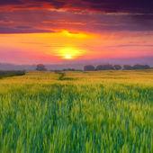 夏の麦畑 — ストック写真