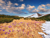 Crocuses in spring in mountains — Stock Photo