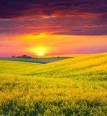 Landscape with a field of yellow flowers. — Stock Photo