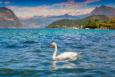 White swan on Lake Iseo — 图库照片