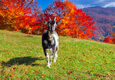 Goat on pasture in the mountains — Stock Photo
