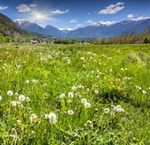 Alpine meadow with blossoming dandelions.  — Stock Photo