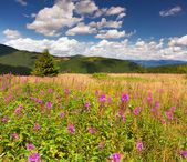 Field of angustifolium flowers in mountains — Stockfoto