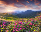 Rhododendron flowers in mountains. — Stock Photo