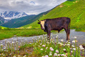 Cattle on the watering in the mountains. — Foto Stock
