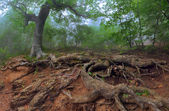 Tree with huge roots in forest — Stock Photo