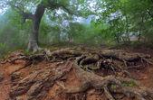 Baum mit riesigen Wurzeln im Wald — Stockfoto