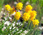 Butterfly on the yellow flowers — Stock Photo