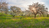 Blooming apple trees in the garden. — Stock Photo