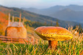 Edible fungi  in the mountains — Stock Photo