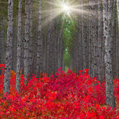 Pine forest with red bushes — Stock Photo