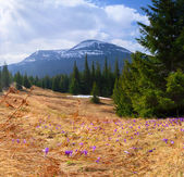 Crocuses bloom in the Carpathians — Stock Photo