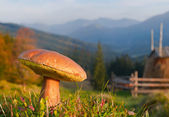 Edible fungi in the Carpathian mountains — Stock Photo