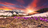 Field of blooming crocuses in mountains. — Stock Photo