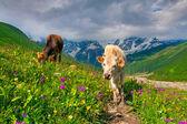 Vaches dans un pâturage de montagne. — Photo