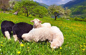 Sheep on a farm in the spring in the mountains — Stock Photo