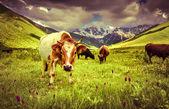 Skot na horské pastviny — Stock fotografie
