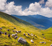 Flock of sheep  in the Carpathians mountains. — Stock Photo