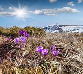 Blooming crocuses in the mountains — Stock Photo