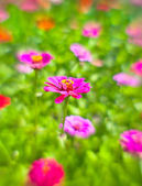 Flowers of zinnia — Stock Photo