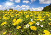 Flowering dandelions and camomiles — Stock Photo