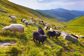 Flock of sheep  in the mountains — Stock Photo