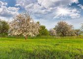 Blühende apfelbäume — Stockfoto
