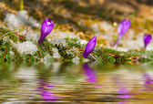 Blossom crocus in spring — Stock Photo