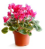 Blossoming plant of cyclamen — Stock Photo