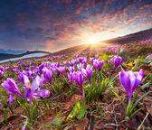 Field of blooming crocuses — Stock Photo