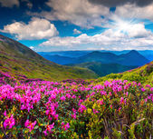 Rhododendron flowers on summer mountain — Stock Photo