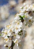 White flowers of cherry — Stock Photo