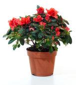 Azalea in flowerpot — Foto Stock