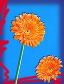 Orange gerbers — Stock Photo