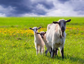 Goats on a green lawn — Stock Photo