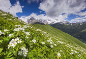 Blooming daisies on mountain meadow — Stock Photo