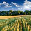 Barley and sunny day — Stock Photo #50890029