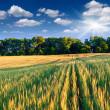 Barley and sunny day — Stock Photo #50890029