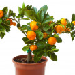 Small citrus tree — Stock Photo #50891695