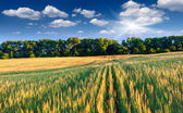 Barley and sunny day — Stock Photo