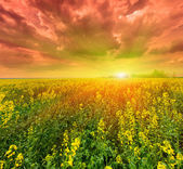 Field of flowering canola — Stock Photo