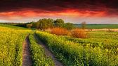 Krajobraz z pola żółte kwiaty — Zdjęcie stockowe