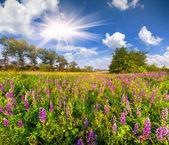 Field of blooming lupine — Stockfoto
