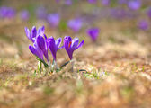 Flower bed of violet crocus. — Stock Photo