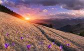 Montañas con campo de azafranes flor — Foto de Stock