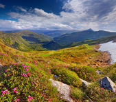 Rhododendron flowers on summer mountains — Stock Photo