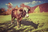 Red cow on pasture in the mountains — Stock Photo