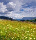 Field of flowering camomiles in mountains — Stock Photo